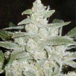 nasiona marihuany automatyczne